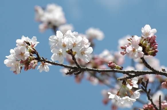 Sakura2 583