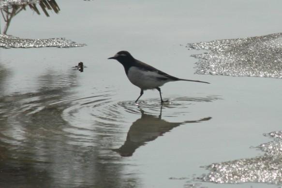 BirdA1